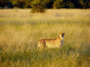 1280px-Gepard_chobe_national_park